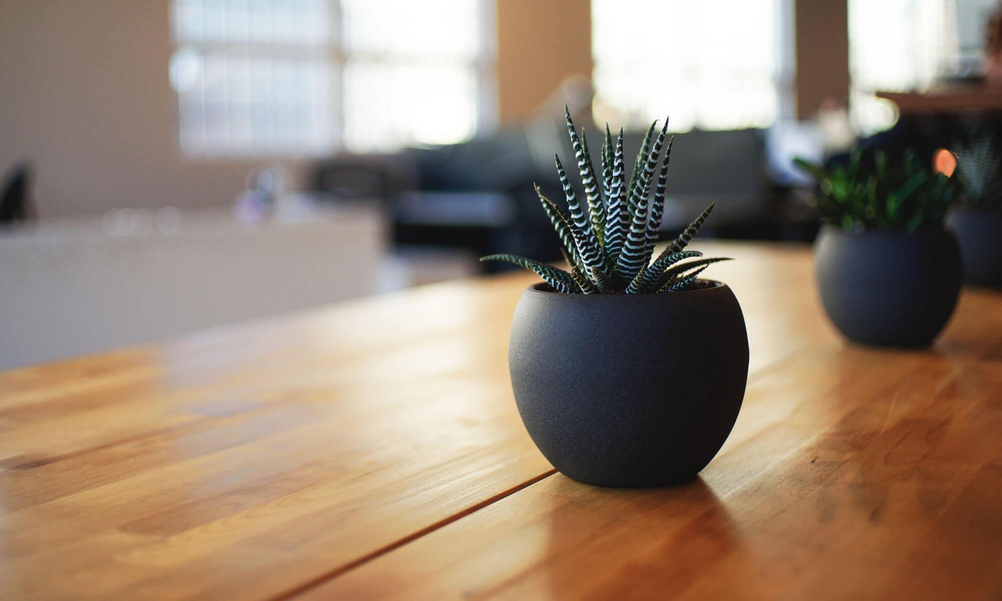 Japanin Palmut